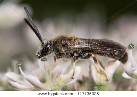 Lasioglossum calceatum solitary bee on flower