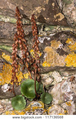 Navelwort (Umbilicus rupestris) in seed