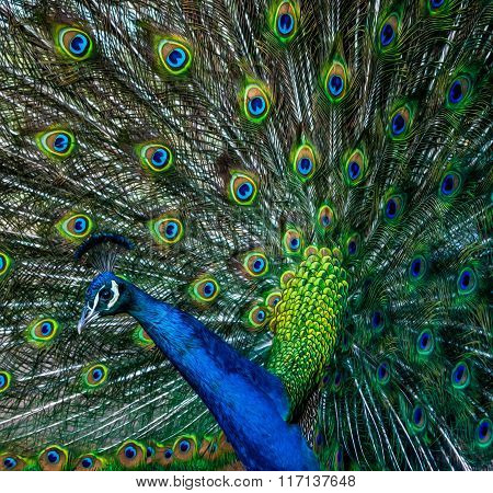 Peacock profile