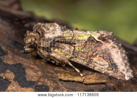 Green-brindled crescent (Allophyes oxyacanthae) moth