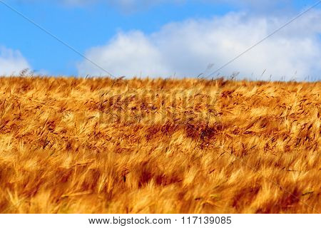 Grain Field With Barley And Blue Sky In Saxon Switzerland