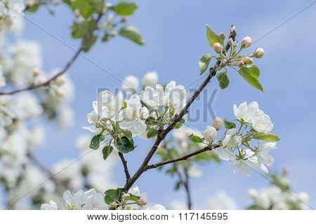 Spring beauty of pink and white apple tree flowers on branch