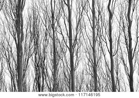 Row of skinny tree trunks