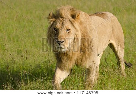 Lion in Masai Mara, Kenya