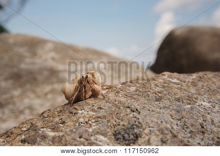 Hermit Crab Close-up On  Background Of Stone And Ocean