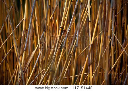 Fragment Of A Reed Field