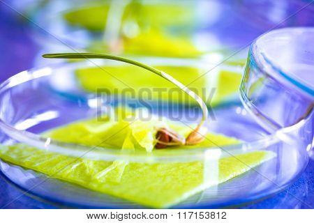 GM plant in petri dish