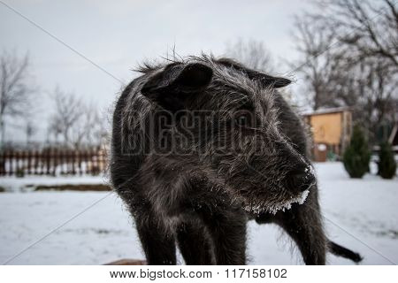 Irish Wolfhound, Black Puppy Of Irish Wolfhound In Winter, Black Young Irish Wolfhound Playing With