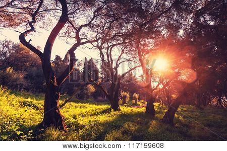 Olives garden