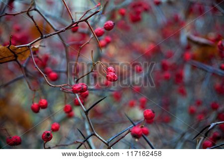 Hawthorn Berries In Autumn