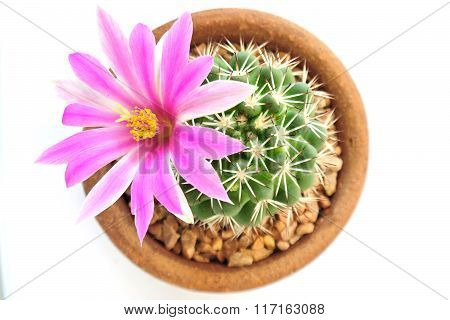 Cactus Flower Pink  Closeup On White Background