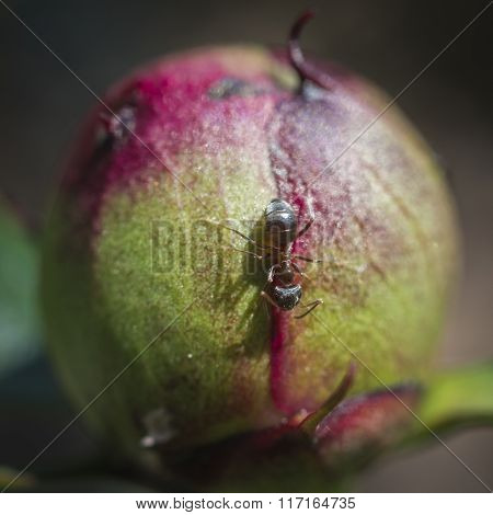 ant on bud