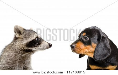 Portrait of raccoon and puppy breed Slovakian Hound