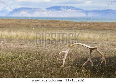 White Sun Bleached Reindeer Antlers On Barentsoya, Svalbard, Norway.