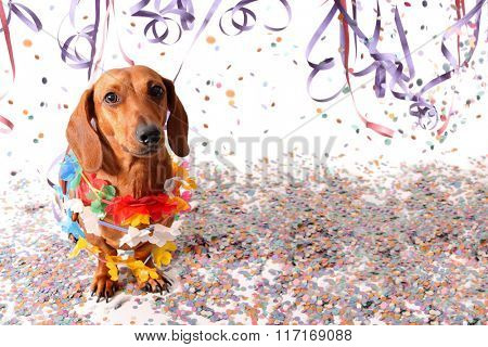 Sat dachshund at Carnival party - head up.