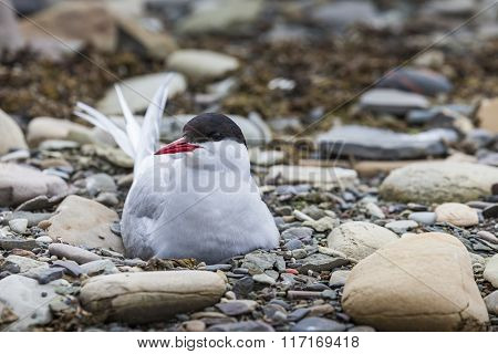 Arctic Tern Standing Near Her Nest Protecting Her Egg From Predators