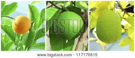 Collage with citrus tree in the greenhouse