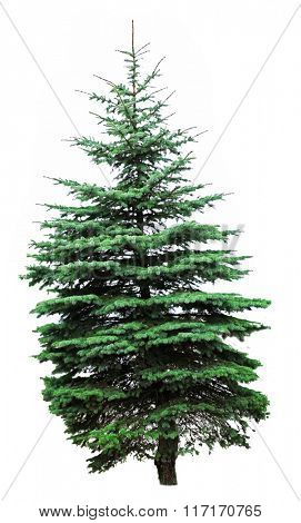 Fir-tree, isolated on white