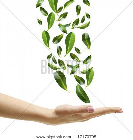 Green leaves falling into woman hand, isolated on white