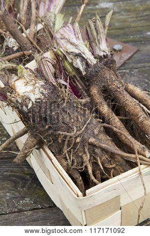 Image of roots of burdock (arctium tomentosum)