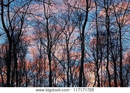 Trees Against The Evening Cloudy Sky