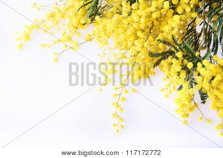 Fresh mimosa flower on white