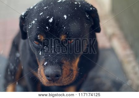 Rottweiler With Snowflakes
