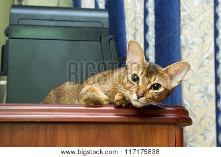 Abyssinian Cat Lying On Table And Looking At The Camera