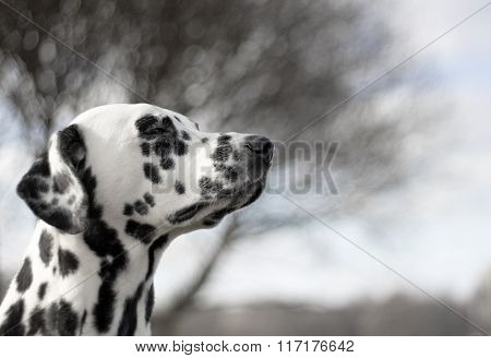 Dalmatian Is Enjoying The Weather