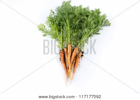Freshly Picked Carrots