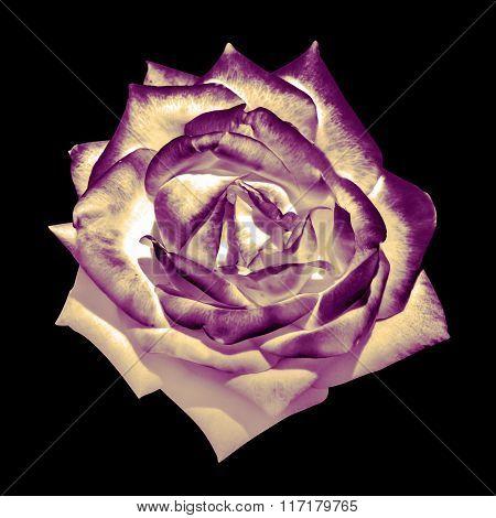 Surreal Dark Chrome Retro Tender Rose Flower Macro Isolated On Black