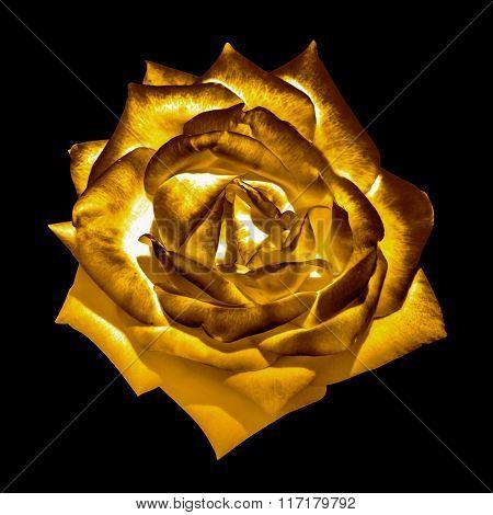 Surreal Dark Chrome Golden Tender Rose Flower Macro Isolated On Black