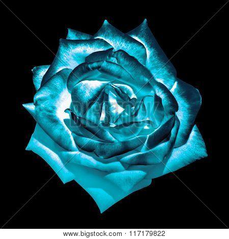 Surreal Dark Chrome Cyan Tender Rose Flower Macro Isolated On Black