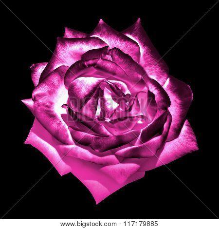 Surreal Dark Chrome Pink Tender Rose Flower Macro Isolated On Black