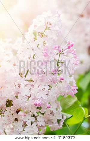 Blossoming Of Pink Lilac Flowers In Spring Time
