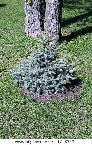 Young Planted Seedling Blue Spruce