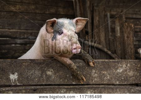 One Dirty Pig Hanging On A Fence.