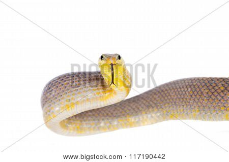 Red-tailed Green Ratsnake on the white background