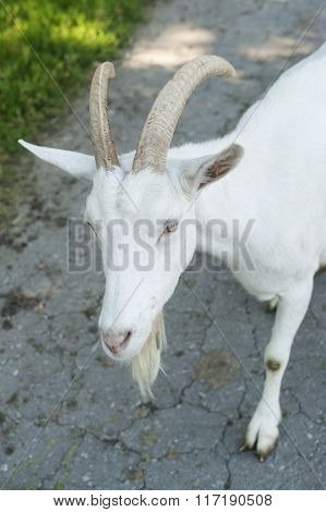 Curious White goat