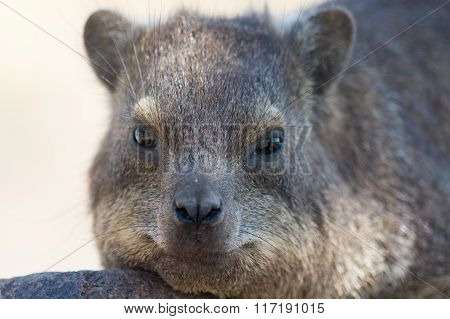 Cliff Hyrax In Namibia