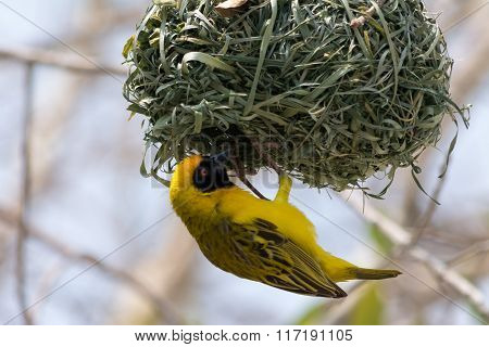 Yellow Weaver Bird Building A Nest In Namibia, Africa.