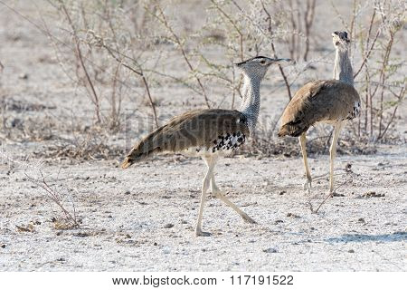 Male And Female Kori Bustard