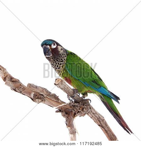 The painted conure, pyrrhura picta, on white