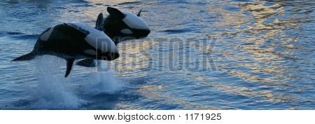 Orcas Jumping