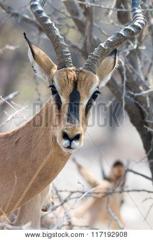 Blackfaced Impala Portrait - Looking Into Cam