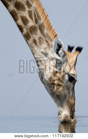 Portrait Of A Drinking Giraffe At Natural Waterhole