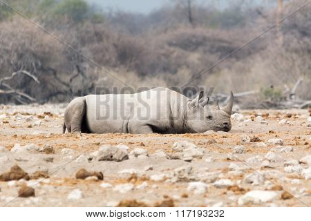 Rhinoceros Rolling In The Sand