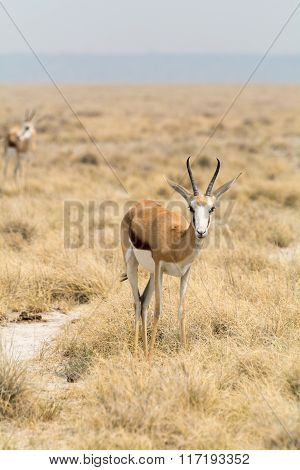 Springbok In Grass Desert