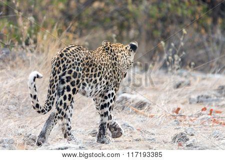 Wild Cheetah Senn  From Behind