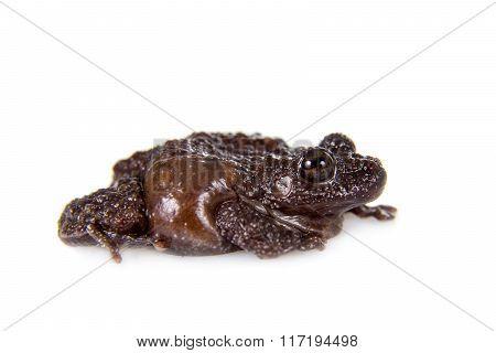Star mossy frog, Theloderma stellatum, on white